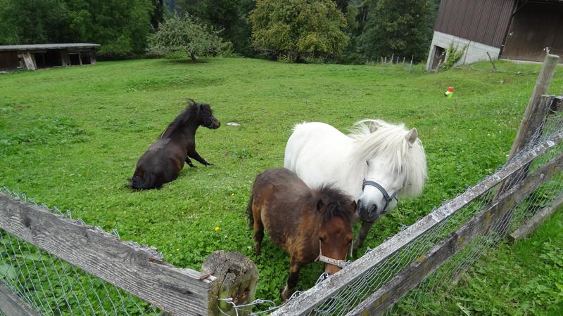 Mini-Shetty-Ponys auf der Weide