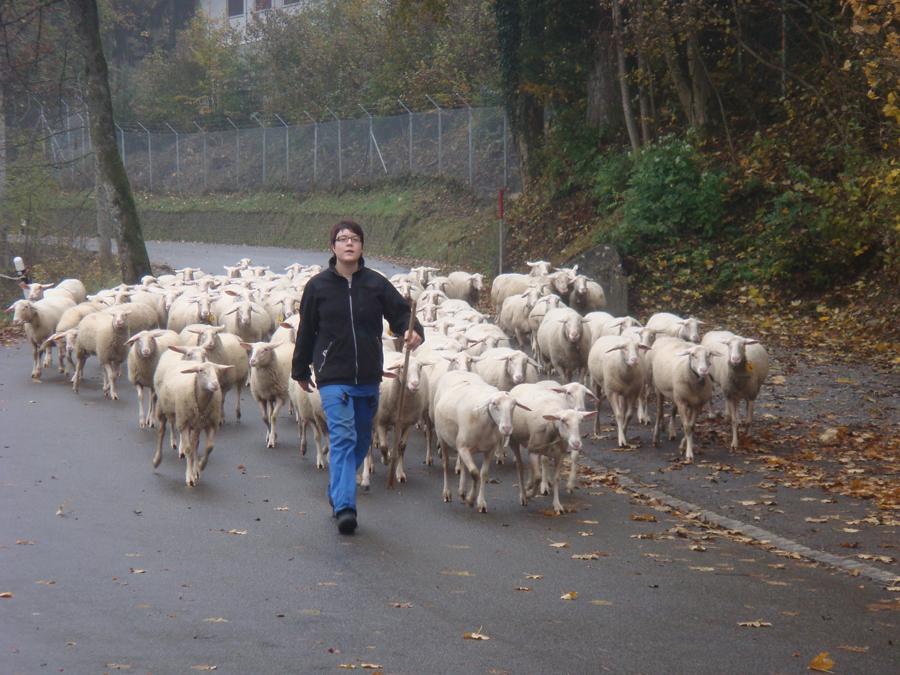 Patrizia Furrer bringt die Schafe zum Melken nach Hause.